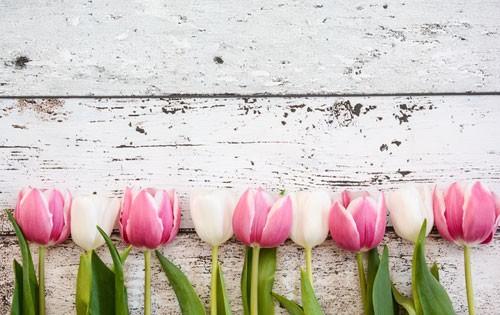 Spritzschutz Tulpen auf Acrylglas